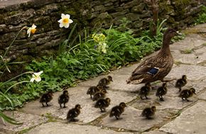 The maternal instinct is exhibited in just about every type of animal on the planet -- including mallard ducks, shown here in Cottswold, England.