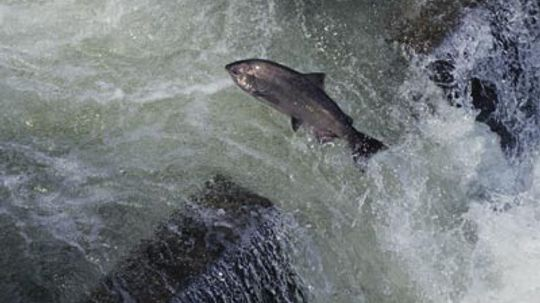 What are fish ladders?