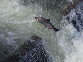 This salmon is taking the detour route.