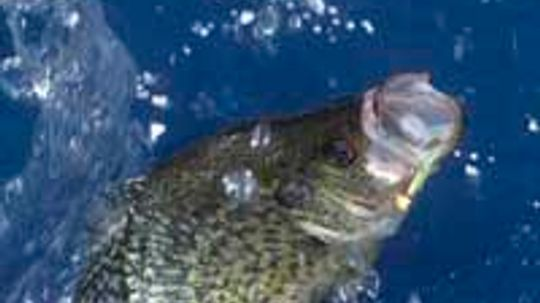 How can panfish populations benefit from anglers?
