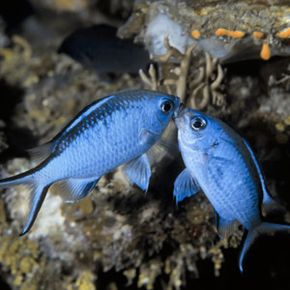 In overstocked waters, fish fight for the same resources.
