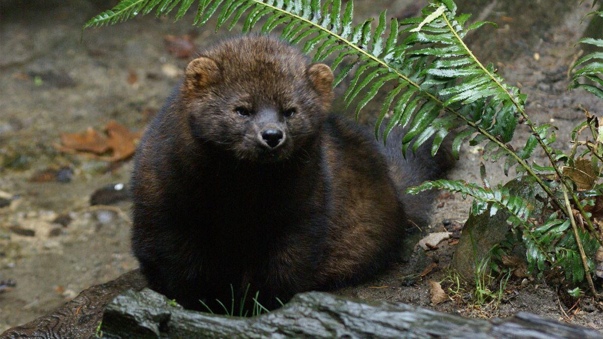Fisher Cats: Tough Guys of the Weasel World