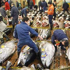 Japan's fish markets may be partially responsible for depleted tuna populations in the Mediteranean Sea.