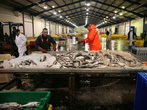 Imported fish is processed at Grimsby Fish Docks in northern England.
