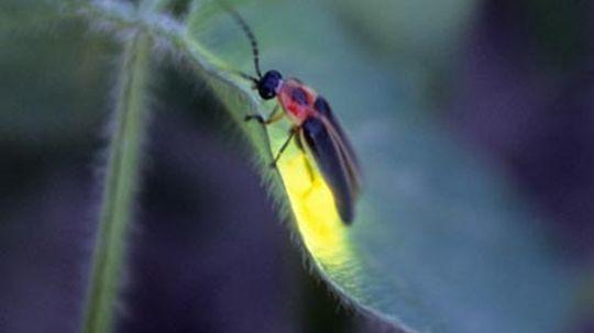 How do fireflies light up?
