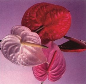 The flamingo flower produces large blooms in a variety of colors. See more pictures of house plants.