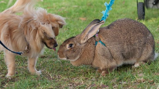 Flemish Giant Rabbits Are Docile Snuggle Bunnies