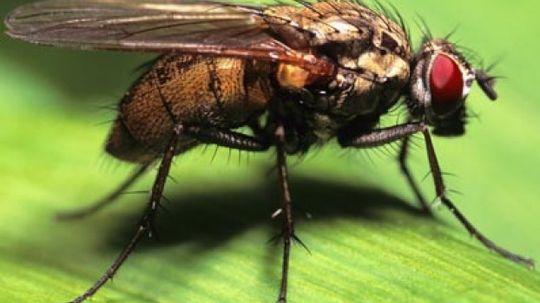 How do flies breathe?