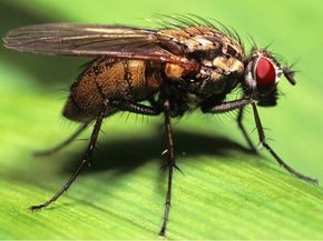 These flies lay their eggs in carrion, dung, and similar materials. See more insect pictures. See more pictures of insects.