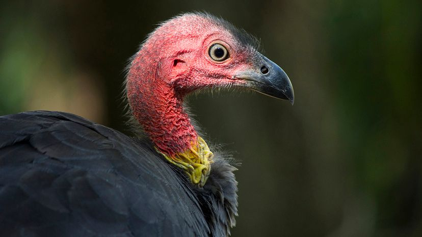 This is the Australian brush turkey, Alectura lathami, a modern species related to the extinct P. gallinacea. Auscape/UIG via Getty Images