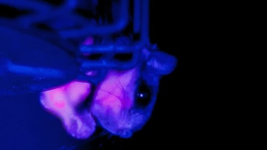 Flying Squirrels Glow Hot Pink in UV Light