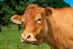 Cows in the U.S. are normally given large doses of antibiotics to encourage weight gain. However, that practice might be changing.