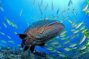 A grouper can harbor toxins that travel by semen to a sexual partner.