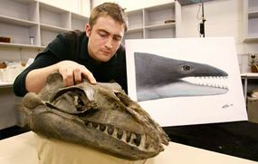 Museum Victoria Research Associate and Monash University PhD student Erich Fitzgerald inspects the skull of a 25-million-year-old fossil from southeast Australia identifying a new family of small, highly predatory, toothed baleen whales with enormous eyes.