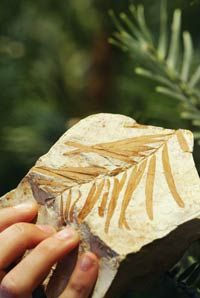 This replica fossil of a 90-million-year-old leaf specimen was used to help identify the Woollemi pine, an old, rare species of pine tree.