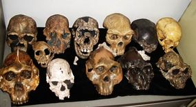A collection of fossils believed to be the evolutionary series of man from his earliest existence millions of years ago is pictured in Nairobi's 75-year-old National Museum.
