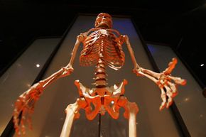 A human skeleton on display at the American Museum of Natural History's new Hall of Human Origins
