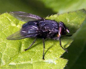 A large, adult blow fly, who must have received his fill of human remains.