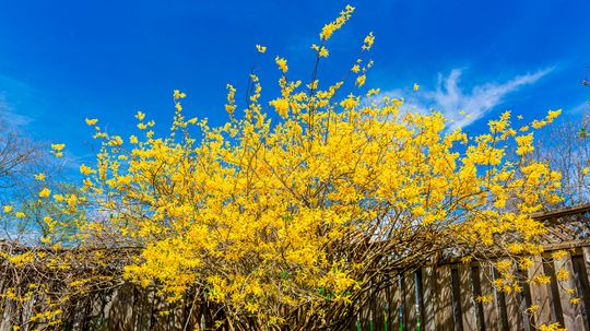 Caring for Forsythia, the Flaming Yellow Sign of Spring