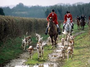Tally-ho! Fox hounds on the hunt.