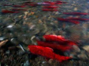 Such a pretty sight --a school of sockeye salmon return in the Adams River inBritish Columbia, Canada.
