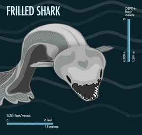 Because of its long body, the frilled shark sometimes looks like an eel at first glance.