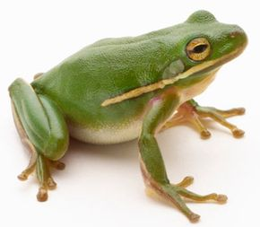 Green tree frog (Hylidae cinerea). See more amphibian pictures.