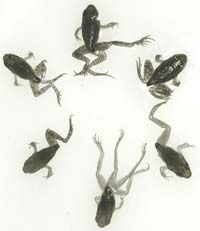 Shown here are two normal frogs and four deformed frogs with missing limbs and limb duplications.