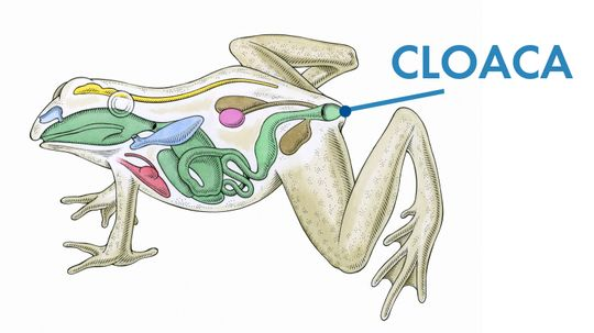 Many Animals Have a Cloaca, But Humans Should Not