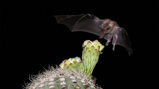 Fruit Bats Are the Best Pollinators (and Suppliers of Tequila)