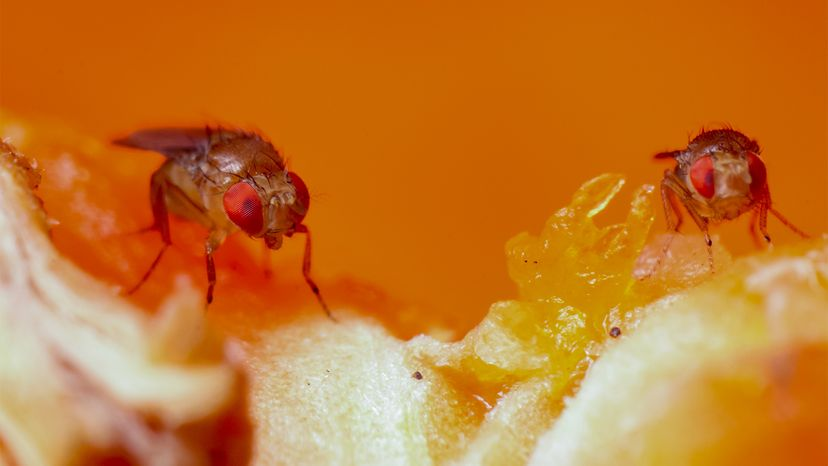Fruit fly details (Drosophila)