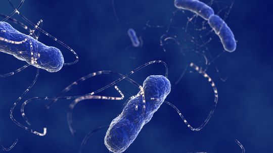 How long does it take gut flora to recover from antibiotics?