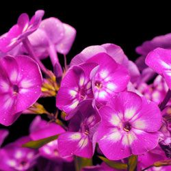 A cluster of Phlox paniculata livens up any garden.