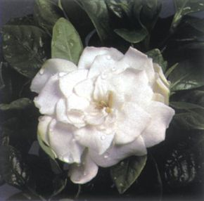 Gardenia's beauty is only surpassed by its fragrance. See more pictures of house plants.
