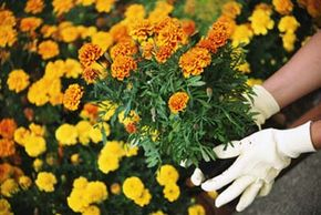 give you bright blooms all summer long. See more pictures of gardening.