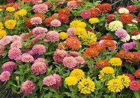 Zinnias add a pop of color to a garden.