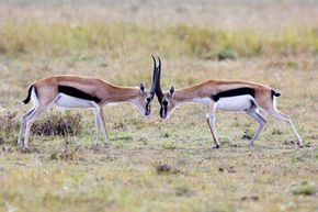 If gazelles can't convince one another who is more dominant with their posturing, they'll lock horns to settle the dispute.