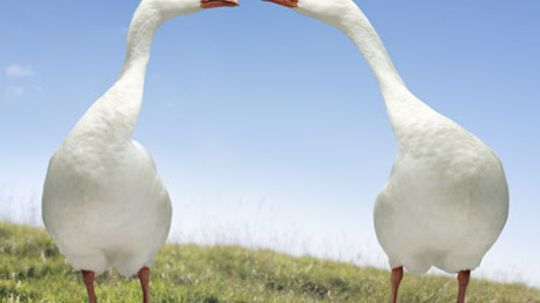 Why do geese mate for life?