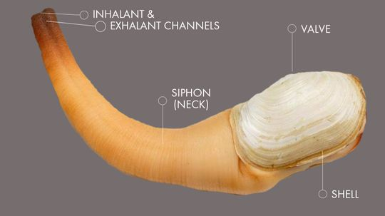 The Geoduck Is The World's Most NSFW Mollusk