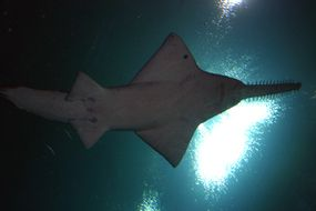 A largetooth sawfish in the Ocean Voyager tank. The sawfish eats small fish, crustaceans and mollusks. It uses its saw, or rostrum, for attack, defense and digging for prey.