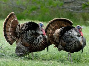 Wild turkeys like these are the descendents of the birds pilgrims would've encountered. They haven't been tampered with genetically.