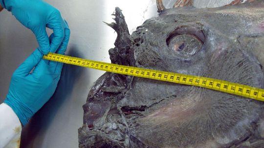 How Giant Oarfish Work
