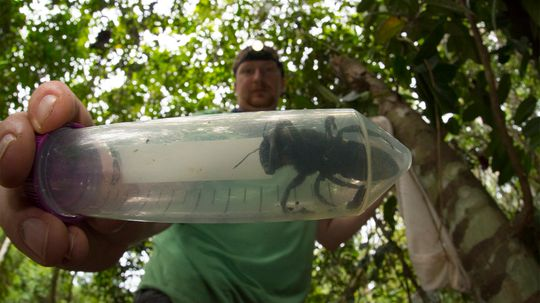 Wallace's Giant Bee, World's Largest, Rediscovered