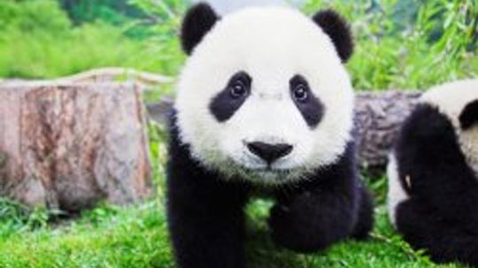 Giant Panda Bear Pictures