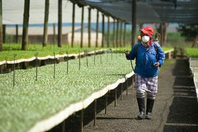 Although it is rare to see a woman working in pest control in the U.S., it's more  common in developing countries. Here, a South African woman sprays insecticide over cabbage seedlings.