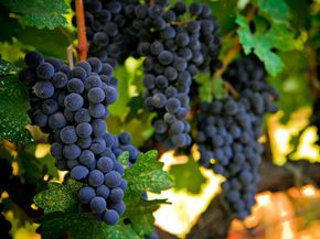 Grapes like these can't handle the heat. See more wine pictures.