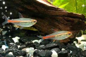 © iStock Glowlight Tetra -- hemigrammus erythrozonus                                            See more Aquarium Fish Image Gallery.