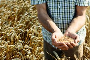 No evidence has been found that today's wheat contains more gluten than wheat of the past.