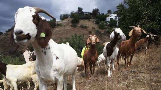 Vincent van Goat and Friends Help Vanquish Western Wildfires