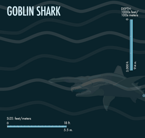 The goblin shark is unusual in many ways; one of those is its pink hue.
